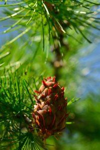Le Mélèze d'Europe, ou Mélèze commun (Larix decidua)<br> Vallon de Gialorgues<br> Parc Naturel National du Mercantour