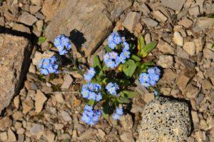 Myosotis des Alpes (Myosotis alpestris)<br> Vallon de Gialorgues<br> Parc Naturel National du Mercantour