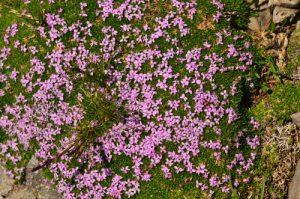 Le Silène acaule (Silene acaulis)<br> Vallon de Gialorgues<br> Parc Naturel National du Mercantour
