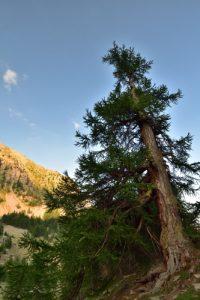 Le Mélèze d'Europe, ou Mélèze commun (Larix decidua)<br> Col de la Moutière<br> Parc Naturel National du Mercantour
