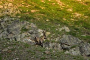 Le Bouquetin des Alpes (Capra ibex)<br> Col de la Moutière<br> Parc Naturel National du Mercantour