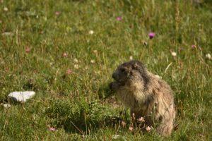 La Marmotte des Alpes (Marmota marmota)<br> Vallon de Mary<br> Haute Vallée de l'Ubaye