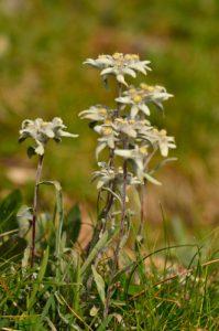 L'Édelweiss (Leontopodium alpinum)<br> La Crête de Vars<br> Parc Naturel Régional du Queyras