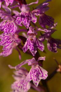 L'Orchis de Fuchs (Dactylorhiza fuchsii)<br> Parc Naturel Régional du Queyras