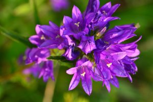 Flore du PNR du Queyras<br> Parc Naturel Régional du Queyras