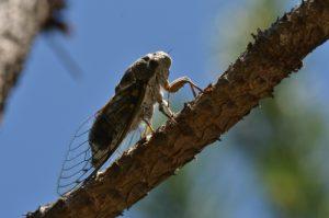 La Cigale argentée (Tettigetta argentata)<br> [Critère discriminant : taches claires du thorax très étendues, ventre clair]<br> Demoiselles coiffés de Théus<br> Basse Vallée de la Durance