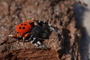 L'araignée Érèse coccinelle (Eresus kollari)<br> Forêt Domaniale de La Commanderie<br> Parc Naturel Régional du Gâtinais Français