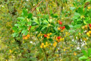 L'Arbousier commun (Arbutus unedo)<br> Les Prés salés Ouest de La Teste-de-Buch<br> Parc Naturel Régional des Landes de Gascogne