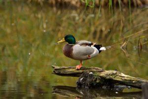 Le Canard colvert (Anas platyrhynchos)<br> La Réserve Ornithologique du Teich<br> Parc Naturel Régional des Landes de Gascogne