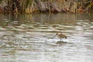 La Barge à queue noire (Limosa limosa)<br> La Réserve Ornithologique du Teich<br> Parc Naturel Régional des Landes de Gascogne