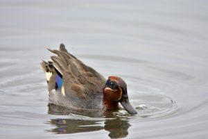 La Sarcelle d'hiver (Anas crecca)<br> La Réserve Ornithologique du Teich<br> Parc Naturel Régional des Landes de Gascogne
