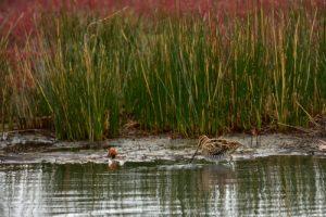 La Bécassine des marais (Gallinago gallinago)<br> La Réserve Ornithologique du Teich<br> Parc Naturel Régional des Landes de Gascogne