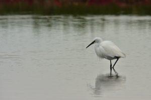 L'Aigrette garzette (Egretta garzetta)<br> La Réserve Ornithologique du Teich<br> Parc Naturel Régional des Landes de Gascogne