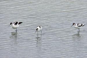 L'Avocette élégante (Recurvirostra avosetta)<br> La Réserve Ornithologique du Teich<br> Parc Naturel Régional des Landes de Gascogne
