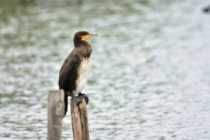 Le Grand Cormoran (Phalacrocorax carbo)<br> La Réserve Ornithologique du Teich<br> Parc Naturel Régional des Landes de Gascogne