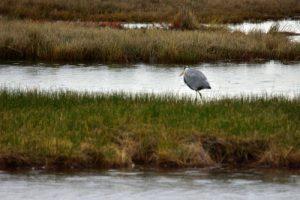 Le Héron cendré (Ardea cinerea)<br> La Réserve Ornithologique du Teich<br> Parc Naturel Régional des Landes de Gascogne
