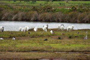 La Grande Aigrette (Ardea alba)<br> La Réserve Ornithologique du Teich<br> Parc Naturel Régional des Landes de Gascogne