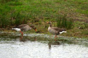 L'Oie cendrée (Anser anser)<br> La Réserve Ornithologique du Teich<br> Parc Naturel Régional des Landes de Gascogne