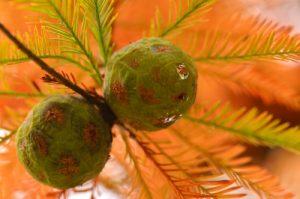 Cyprès chauve (Taxodium distichum)<br> Espace Naturel Sensible du Domaine d'Hostens et Lagunes du Gat Mort<br> Parc Naturel Régional des Landes de Gascogne