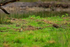 Grive musicienne (Turdus philomelos)<br> La Réserve Ornithologique du Teich<br> Parc Naturel Régional des Landes de Gascogne