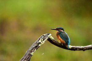 Le Martin-pêcheur d'Europe (Alcedo atthis)<br> La Réserve Ornithologique du Teich<br> Parc Naturel Régional des Landes de Gascogne