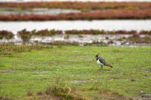 Le Vanneau huppé (Vanellus vanellus)<br> La Réserve Ornithologique du Teich<br> Parc Naturel Régional des Landes de Gascogne