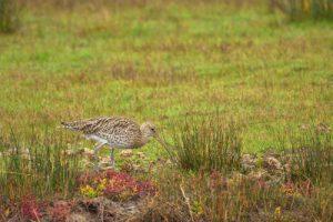 Le Courlis cendré (Numenius arquata)<br> La Réserve Ornithologique du Teich<br> Parc Naturel Régional des Landes de Gascogne