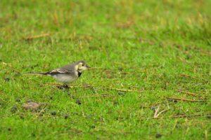 La Bergeronnette grise (Motacilla alba)<br> La Réserve Ornithologique du Teich<br> Parc Naturel Régional des Landes de Gascogne