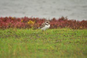 Le Grand Gravelot (Charadrius hiaticula)<br> La Réserve Ornithologique du Teich<br> Parc Naturel Régional des Landes de Gascogne
