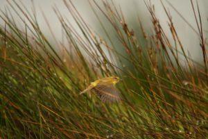 Hypolaïs polyglotte (Hippolais polyglotta) ?<br> La Réserve Ornithologique du Teich<br> Parc Naturel Régional des Landes de Gascogne