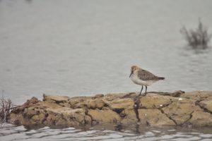 Un Bécasseau (Calidris sp.)<br> La Réserve Ornithologique du Teich<br> Parc Naturel Régional des Landes de Gascogne