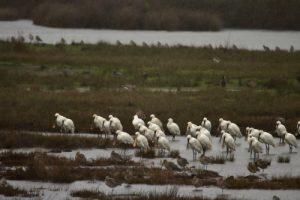 La Spatule blanche (Platalea leucorodia)<br> La Réserve Ornithologique du Teich<br> Parc Naturel Régional des Landes de Gascogne