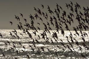 Le Bécasseau sanderling (Calidris alba)<br> Le Cap Ferret<br> Parc Naturel Régional des Landes de Gascogne