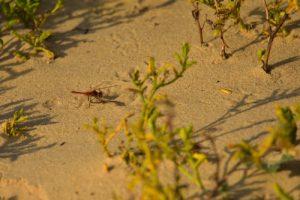 Le Sympétrum à nervures rouges (Sympetrum fonscolombii)<br> Le Cap Ferret<br> Parc Naturel Régional des Landes de Gascogne