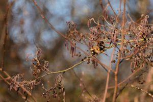 Le Chardonneret élégant (Carduelis carduelis)<br> Espace Naturel Sensible du Grand Montauger