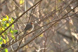 Le Rouge-gorge familier (Erithacus rubecula)<br> Espace Naturel Sensible du Grand Montauger