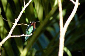 Colibri madère (Eulampis jugularis) -  Gîte à Pigeon -  Basse-Terre / Guadeloupe