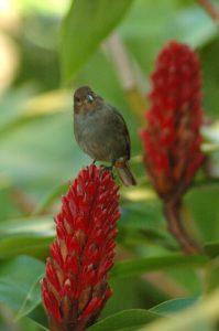 Oiseau femelle Sporophile rouge-gorge (Loxigilla noctis) -  Gîte à Pigeon -  Basse-Terre / Guadeloupe