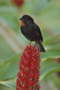 Oiseau mâle Sporophile rouge-gorge (Loxigilla noctis) -  Gîte à Pigeon -  Basse-Terre / Guadeloupe