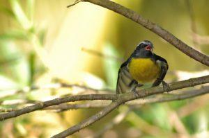 Sucrier à tête jaune (Coereba flaveola) -  Gîte à Pigeon -  Basse-Terre / Guadeloupe