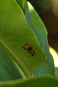 """Chenille """"Rasta"""" (Syntomeida epilais)<br>  Gîte de Pigeon<br> Parc National de La Guadeloupe"""
