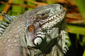 Iguane commun (Iguana iguana) reconnaissable à sa grosse écaille sous l'oeil -  Fort Napoléon / Terre de Haut -  Les Saintes / Guadeloupe