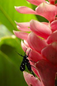 """Papillon de la Chenille """"Rasta"""" (Syntomeida epilais)<br>  Gîte de Pigeon<br> Parc National de La Guadeloupe"""