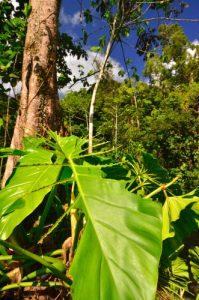 Feuille de Siguine blanche (Anthurium grandifolium) dévorée par la fourmi manioc (Acromyrmex octospinosus)<br>  La Cascade des Écrevisses<br>  Parc Naturel National de la Guadeloupe