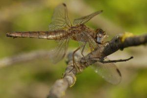 Libellule femelle Crocothémis écarlate (Crocothemis erythraea) -  La Réserve Naturelle Régionale du Grand Voyeux
