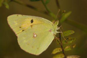 Papillon du genre Colias (Colias sp.) La Réserve Naturelle Régionale du Grand Voyeux
