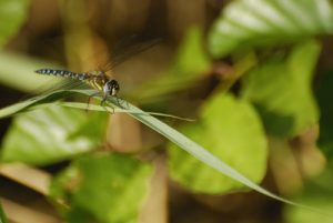 Aeschne mixte (Aeshna mixta) -  La Réserve Naturelle Régionale du Grand Voyeux
