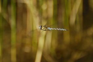 Vol de libellule Aeschne mixte (Aeshna mixta) -  La Réserve Naturelle Régionale du Grand Voyeux