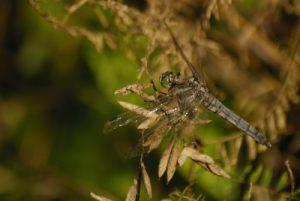 Orthétrum réticulé (Orthetrum cancellatum) -  La Réserve Naturelle Régionale du Grand Voyeux