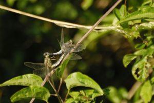 Accouplement de libellules Orthétrum réticulé (Orthetrum cancellatum) -  La Réserve Naturelle Régionale du Grand Voyeux